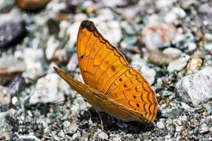 Butterfly at Rocky Island -Dooars