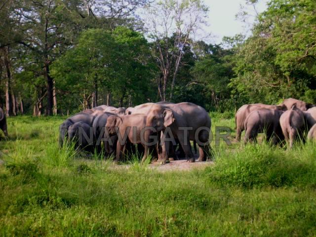 Jaldapara -Elephant