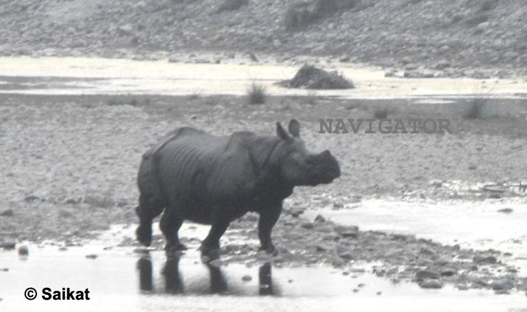 Rhino- Chilapata